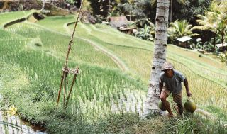Asian farmer harvesting in fields